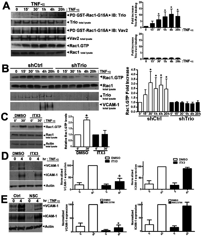 Trio and Rac1 activity are required for TNF-α-induced <t>ICAM-1</t> and VCAM-1 expression. ( A ) Trio and Vav2 activation following TNF-α treatment was examined by means of pull-down assays with GST-Rac1-G15A mutants as described in Methods