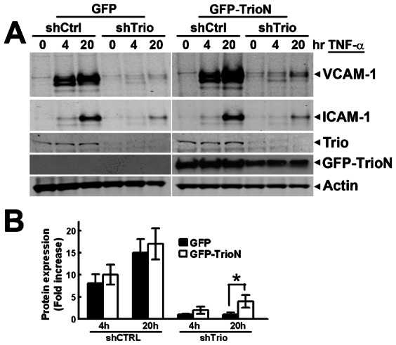 TrioN partially rescues TNF-α-induced VCAM-1 expression in Trio-deficient cells. ( A ) Trio expression was reduced in endothelial cells with shTrio5, resulting in impaired VCAM-1 and to a minor extent ICAM-1 expression after TNF-α treatment. GFP-TrioN was expressed in HUVEC by adenoviral delivery, as described in Online Methods. Transduction with adenovirally-delivered GFP was used as a control. Actin expression is shown for protein loading. ( B ) Graphs show quantification of VCAM-1 expression rescue by TrioN in Trio-deficient cells. The experiment was carried out four times. Data are mean±SEM. * P