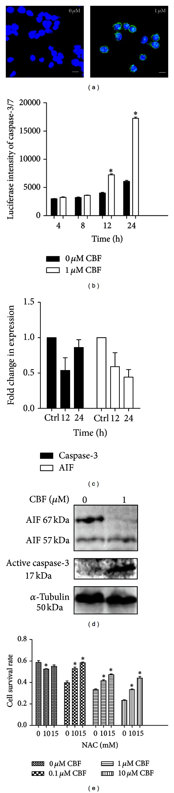 CBF-induced apoptosis is both caspase-3 dependent and independent in HCT116 cells. (a) Expression of active caspase-3 detected by confocal microscopy. HCT116 cells were treated with 0 or 1 µ M of CBF for 24 hours and analysed by immunofluorescence. The expression of active caspase-3 (green fluorescence) was only observed in treated HCT116. Cell nuclei were stained with DAPI (blue fluorescence). Scale bars equal 10 μ m. (b) Detection of caspase-3/7 activity via a time course. A significant increase of caspase-3/7 activity was found after 24-hour-CBF exposure ( N = 9, * P