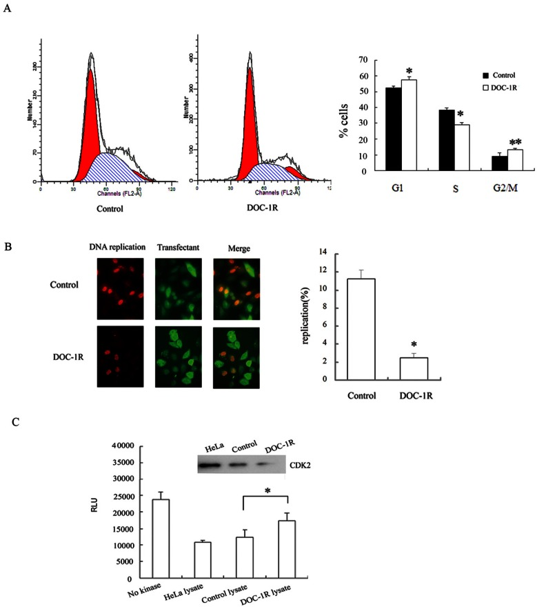 DOC-1R expression inhibited G1/S transition and suppressed CDK2 kinase activity. (A) Cell cycle analysis. HeLa cells were transiently transfected with pFLAG-DOC-1R and then subjected to flow cytometry assay at 48 h post-transfection. * P