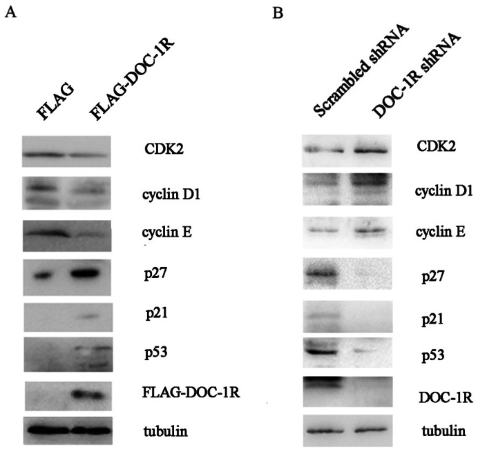 Effects of <t>DOC-1R</t> expression on the regulation of G1 phase-related gene expressions. (A) Overexpression of DOC-1R. pFLAG-DOC-1R was transfected into <t>HeLa</t> cells and 48 h after transfection, cells were extracted and subjected to Western blot analysis of CDK2, cyclin D1, cyclin E, p21, p27 and p53 protein, respectively. (B) Knockdown of endogenous DOC-1R. DOC-1R shRNA plasmid was transfected into HEK-293 cells and 48 h post-transfection, cells were extracted and subjected to Western blot analysis of related proteins. A scrambled shRNA plasmid was used as a control.