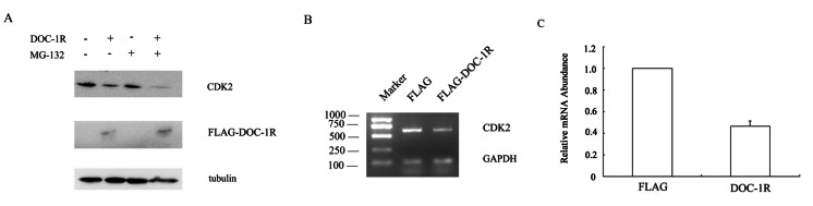 Inhibition of CDK2 expression at the transcriptional level by overexpression of DOC-1R. (A) DOC-1R overexpression down-regulated CDK2 expression via an ubiquitin-independent manner. HeLa cells were transfected with DOC-1R or control plasmid in presence or absence of the proteosome inhibitor MG-132 (0.01 mM) for 8 h and then subjected to Western blot analysis of CDK2 or FLAG-DOC-1R. (B, C) DOC-1R overexpression reduced CDK2 mRNA levels. Cells cultured in the same conditions were subjected to RNA isolation and then RT-PCR (B) and qRT-PCR (C) to detect CDK2 expression.