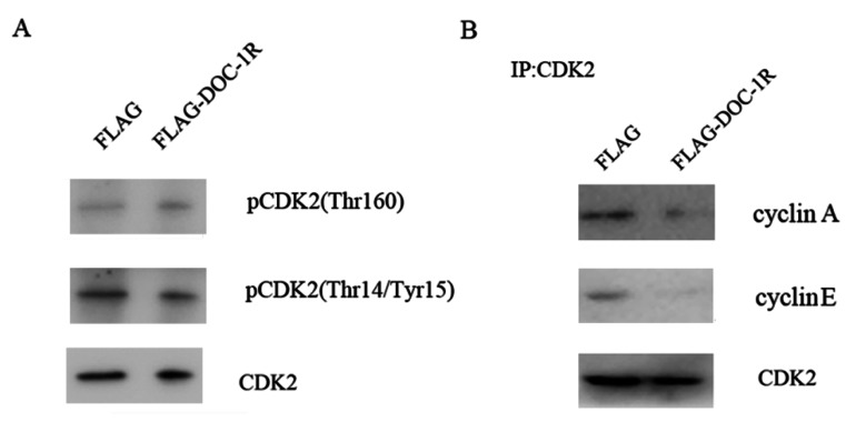 DOC-1R-mediated inhibition of CDK2 activation through repressing cyclin E/A-CDK2 interactions. (A) Western blot. HeLa cells were transfected with pFLAG-DOC-1R and then subjected to protein extraction and western blot analysis for total CDK2, pCDK2 (Thr160) and pCDK2 (Thr14/Tyr15) proteins, respectively. (B) Immunoprecipitation-Western blot assay. The cells with the same conditions as A were subjected to immunoprecipitation with an anti-CDK2 antibody, as well as Western blot analysis for cyclin E and A protein, respectively.