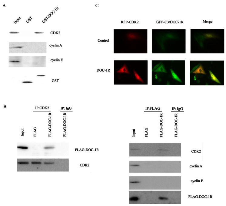 Interaction between DOC-1R and CDK2 proteins. (A) GST pull-down assay. GST or GST-DOC-1R proteins were expressed in Escherichia coli BL21, extracted, incubated with total lysates of HeLa cells and MagneGST particles, and then subjected to Western blot analysis of CDK2, cyclin A and cyclin E, respectively. (B) Immunoprecipitation-Western blot assay. Recombinant retrovirus carrying DOC-1R cDNA was produced and used to infect HeLa cells. Immunoprecipitation was performed as described above following with Western blot analysis. (C) Fluorescent assay. pEGFP-DOC-1R or control was transfected into CHO cells with pDsRED-CDK2. Forty-eight hours later, cell images were viewed and analyzed with a fluorescent microscope.