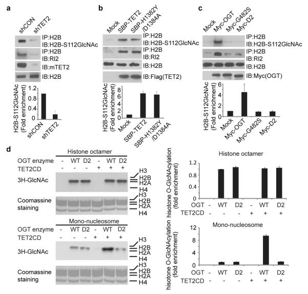 TET2 enhanced histone glycosylation a , Down-regulation of TET2 impairs H2B GlcNAcylation in ES cells. H2B GlcNAcylation was examined by IP with anti-H2B antibody and Western blot with anti-GlcNAc antibody (RL2) or anti-H2B S112 GlcNAc antibody. Histogram shows the relative level of H2B S112 GlcNAc in TET2 down-regulated cells compared to that in control shRNA treated cells. b , Up-regulation of wild type TET2 or TET2 enzymatic dead mutant (H1382Y/D1384A) induced H2B S112 GlcNAcylation in 293 cells. c , The interaction between OGT and TET2 is important for H2B GlcNAcylation and H2B S112G GlcNAcylation. Wild type OGT, the enzymatic dead mutant of OGT (G482S) and the D2 mutant were expressed in 293T cells. H2B GlcNAcylation and H2B S112 GlcNAcylation were examined. d , TET2 facilitated OGT-dependent histone glycosylation in mono-nucleosome but not in recombinant core histones. Tritium-labeled GlcNAc was incorporated into the histones in the in vitro GlcNAcylation assay. All error bars denote s.d., n=3.