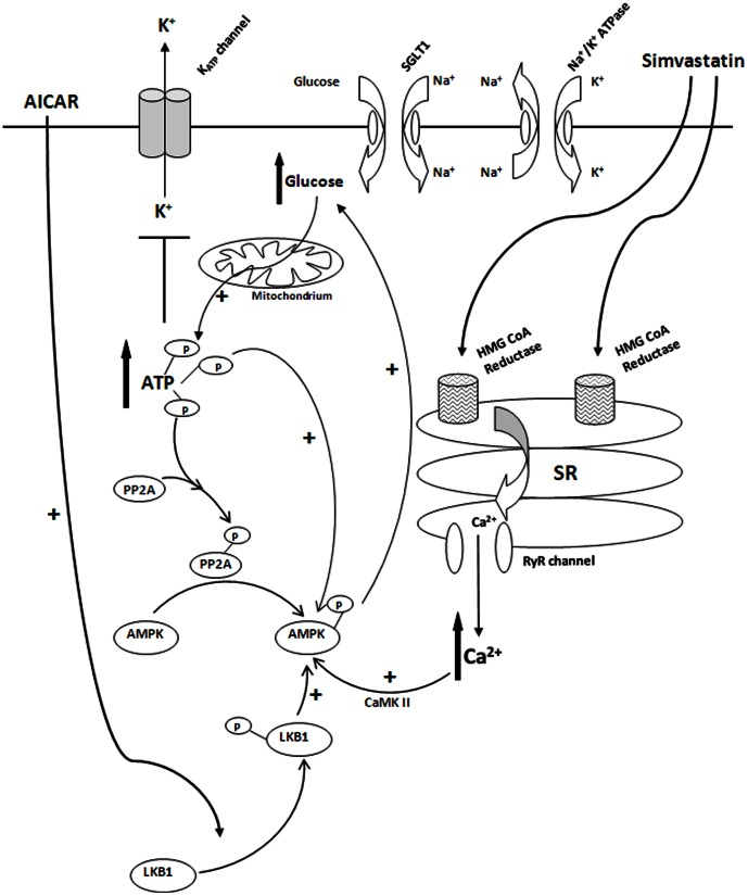 """Proposed mechanisms for acute simvastatin-induced closure of K ATP channels of vascular myocytes. Simvastatin (lipophilic) crosses the plasma membrane and reaches the sacroplasmic reticulum (SR) of vascular myocytes. Binding of simvastatin to SR leads to the release of ryanodine (Ryr)-sensitive Ca 2+ into the cytosol. Elevation of Ca 2+ activates CaMK II which leads to the subsequent activation (phosphorylation) of AMPKα. Phosphorylation of AMPKα-Thr 172 causes [glucose] o uptake with the participation of SGLT1 and Na + /K + ATPase. Increase in cytosolic [glucose] leads to an elevation of ATP levels via oxidative phosphorylation. Elevation of [ATP] i serves two purposes: (1) closure of vascular K ATP channels, (2) providing phosphate groups for cellular proteins (e.g. PP2A and AMPK) phosphorylation. Phosphorylation of PP2A occurs downstream of AMPK phosphorylation. PP2A phosphorylation results in PP2A inactivation which """"releases"""" AMPK and thus phosphorylation of AMPKα-Thr 172 resulted. AICAR produces similar effects as simvastatin except the initial step involves LKB1-Ser 428 phosphorylation."""