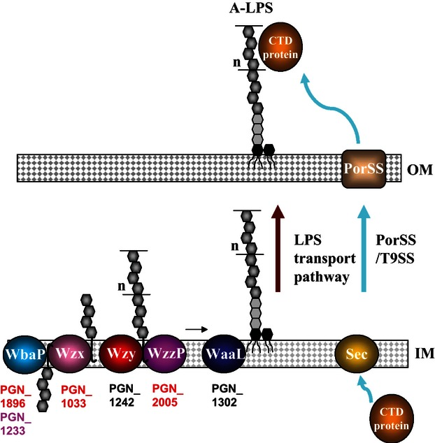 Transport model of LPS and CTD proteins. The first initiation enzymes of UndPP-glycan for two LPSs in Porphyromonas gingivalis are WbaP-like proteins (PGN_1896 and PGN_1233). Assembly of UndPP-glycans is achieved at cytoplasmic side of the inner membrane, and the block is then transported onto the periplasmic side of the inner membrane by Wzx (PGN_1033). The nonrandom (modal) chain length of O-antigen is dictated by Wzy and Wzz proteins, which correspond to an O-antigen polymerase (PGN_1242) and O-antigen chain length regulator (PGN_2005), respectively. Then, O-antigen is ligated to preformed lipid A-cores by O-antigen ligase (PGN_1302), resulting in LPS. LPS is transported to the outer membrane by LPS transport proteins, which are poorly characterized in P. gingivalis . The C-terminal domain proteins are transported to the outer membrane by Sec and the Por secretion system/Type IX secretion system (PorSS/T9SS). Currently, the precise glycosylation mechanism of the CTD proteins remains uncertain.