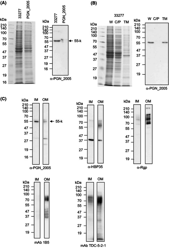 Localization of the PGN_2005 protein in Porphyromonas gingivalis . The cell lysates of the wild type and the PGN_2005 mutant were subjected to immunodetection with anti-PGN_2005 (A). Cell fractionation analysis from the wild type. W, C/P, and TM indicate the whole cell lysate, cytoplasm/periplasm, and total membrane fraction, respectively (B). Five micrograms of protein from the inner membrane (IM) or outer membrane (OM) fractions that were separated by sucrose density gradient centrifugation from the membrane fraction of the wild type were subjected to immunodetection with anti-PGN_2005, anti-HBP35, anti-Rgp, mAb 1B5, and mAb TDC-5-2-1 (C).