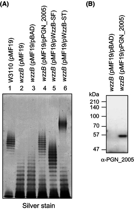 Analysis of LPS to assess Wzz activity by heterologous complementation. Silver-stained polyacrylamide gel displaying the O-antigen LPS profiles of Escherichia coli W3110 (lane 1), EVV16 ( wzzB ) containing pMF19 (lane 2), EVV16/pMF19 containing pBAD vector control (lane 3), EVV16/pMF19 containing PGN_2005-expressing plasmid from Porphyromonas gingivalis (lane 4), EVV16/pMF19 containing WzzB-expressing plasmid (pWzzB-SF) from Shigella flexneri (lane 5), and EVV16/pMF19 containing WzzB-expressing plasmid (pWzzB-ST) from Salmonella typhimurium (lane 6) (A). Immunoblot analysis of the cell lysates was performed with anti-PGN_2005 mouse polyclonal antiserum to confirm the expression of the PGN_2005 protein in the E. coli EVV16 (pMF19) strain (B).