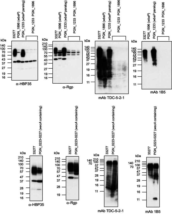 Immunoblot analyses of various Porphyromonas gingivalis mutants related to the first initiation enzyme of UndPP-glycan with anti-HBP35, anti-Rgp, mAb 1B5, and mAb TDC-5-2-1. Cell lysates of various P. gingivalis mutants were subjected to SDS-PAGE and immunoblot analysis with anti-HBP35, anti-Rgp, mAb 1B5, and mAb TDC-5-2-1.