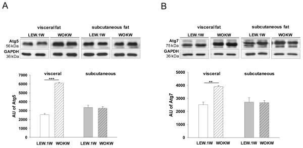 Expression of autophagy markers Atg5 and Atg7 in visceral und subcutaneous fat of WOKW and LEW.1 W rats. Representative Western blots and corresponding densitometrical analyses (Figure 1 A , B ) of Atg5 and Atg7 in visceral and subcutaneous fat of WOKW rats compared to the LEW.1 W control animals. The significant increased expression of Atg5 and Atg7 in visceral fat WOKW rats vs. LEW.1 W control animals. Data from n = 6 are presented as mean ± SEM * p ≤ 0.05, ** p ≤ 0.01, *** p ≤ 0.001, according to the one-way analysis of variance together with the Newman-Keuls test. GAPDH was used as loading control. AU – arbitrary units.