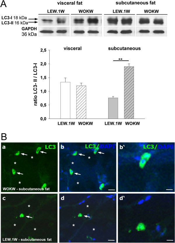 Expression of LC3-I and LC3-II proteins in visceral und subcutaneous fat WOKW and LEW.1 W rats. The over expression of the LC3-II (membrane bound) protein and a significantly higher LC3-II / LC3-I ratio in subcutaneous fat of WOKW rats vs. LEW.1 W control animals. Representative Western blots and corresponding densitometrical analyses (Figure 3 A ). The presence and location of the LC3 protein in subcutaneous fat of WOKW and LEW.1 W rats is additionally shown by immunostaining. As shown for Atg5 and Atg7, adipocytes were predominately negative for LC3 (star). Strong LC3 staining was found in stroma cells resembling macrophages (arrows; Figure 3 B ). Scale bars: 15 μm (a-d); 50 μm (b'-d') (Figure 3 B ). Data from n = 6 are presented as mean ± SEM * p ≤ 0.05, ** p ≤ 0.01, *** p ≤ 0.001, according to the one-way analysis of variance together with the Newman-Keuls test. GAPDH was used as loading control.