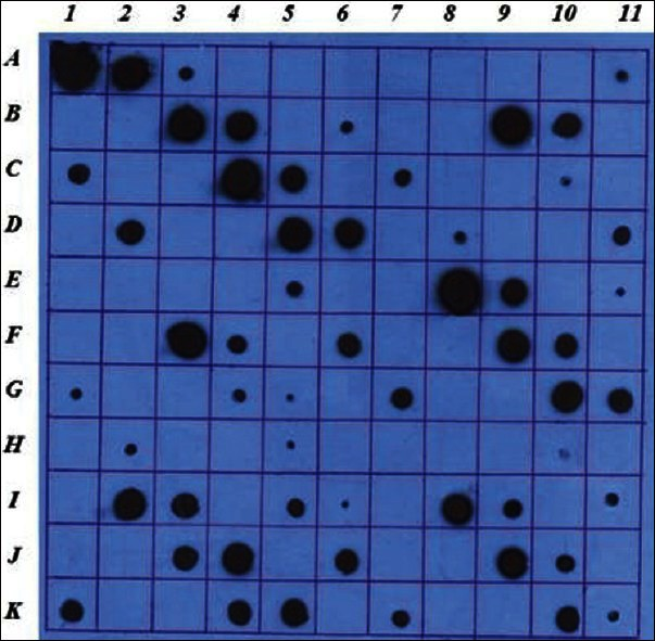 Dot blot analysis of E. coli strains expressed rhGH in LB and 4YT mediums. A1: GH 1 mgr/ml , A2: GH 100 μgr/ml , A3: GH 10 μgr/ml , A4: GH 1 μgr/ ml , A5: GH 100 ngr/ml , A6: PBS, A7: control – with out loading, A8: <t>Top10</t> none transformed supernatant, A9: Top10 none transformed cell lysate, A10: Top10 transformed LB T0 supernatant, A11: Top10 transformed LB T0 cell lysate, B1: Top10 transformed LB T5 supernatant, B2: Top10 transformed LB T5 supernatant 1/10 diluted, B3: Top10 transformed LB T5 cell lysate, B4: Top10 transformed LB T5 cell lysate 1/10 diluted, B5: Top10 transformed 4YT T0 supernatant, B6: Top10 transformed 4YT T0 cell lysate, B7: Top10 transformed 4YT T5 supernatant, B8: Top10 transformed 4YT T5 supernatant 1/10 diluted, B9: Top10 transformed 4YT T5 cell lysate, B10: Top10 transformed 4YT T5 cell lysate 1/10 diluted, B11 to C11: Top10 repeat 2, D1 to E1: Top10 repeat 3. E2 to F4: repeat 1 of XL1-blue, F5 to G5: repeat 2, G6 to H6: repeat 3. H7 to I9: repeat 1 of JM109, I10 to J10: repeat 2 and J11 to K11: repeat 3.