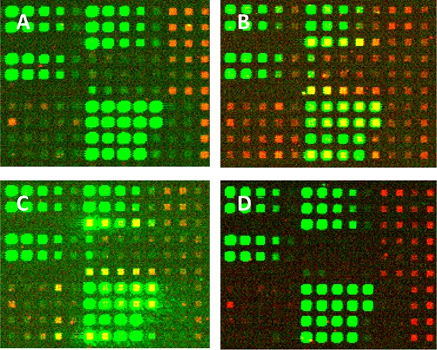 Fluorescent images of sections of microarrays synthesized on different substrates. (A) Corning UltraGAPS, (B) Schott Epoxy ring-opened, (C) Schott A+, (D) Schott Glass D hydroxyl-functionalized with N -(3-triethoxysilylpropyl)-4-hydroxybutryramide. Green features are hybridization signals from Cy3-labeled sequences. Red features are from Cy5-labeled biotin binding to the streptavidin–aptamer pairs. A scheme identifying the sequences corresponding to the spots can be found in the Supporting Information . The arrays were synthesized with light exposures of 11 J/cm 2 and with 32 × 32 μm features (4 DMD mirrors) separated by gaps of 48 μm. All images were acquired with the same scanner settings.