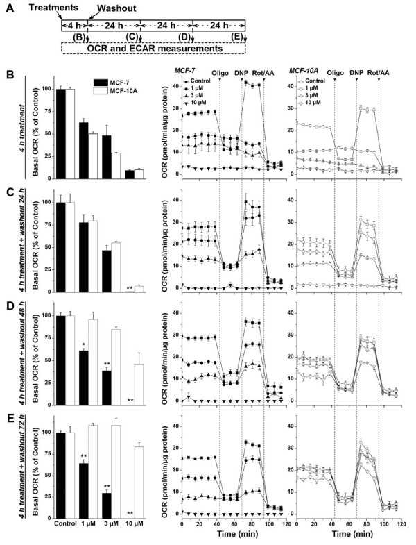 Effects of Mito-ChM on basal OCR and bioenergetics functions in MCF-7 and MCF-10A cells. ( A ) Experimental protocol for bioenergetic functional assay. To determine the mitochondrial and glycolytic function of MCF-7 and MCF-10A cells in response to Mito-ChM (1–10 μM), we used the bioenergetic functional assay previously described (4,25). After seeding and treatment, MCF-7 cells and MCF-10A cells were subsequently washed with complete media (MEM-α for MCF-7 and DMEM/F12 for MCF-10A) and either assayed immediately, or returned to a 37°C incubator for 24, 48, or 72 h. The relative time of treatment and post-treatment incubation that corresponds to the appropriate figures is indicated. ( B ) MCF-7 and MCF-10A cells were assayed for OCR immediately after treatment with Mito-ChM (1–10 μM) for 4 h, ( C ) after incubation without Mito-ChM for an additional 24 h, ( D ) after additional incubation without Mito-ChM for 48 h, and ( E ) after additional incubation without Mito-ChM for 72 h.