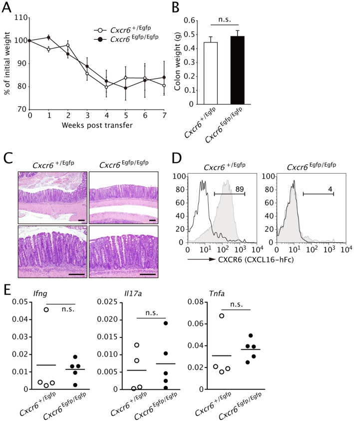 CXCR6 expression is not required for development of transfer colitis. ( A ) Body weight of  Rag1 −/−  recipients of i.v. injected purified CD45RB high CD4 +  T cells form  Cxcr6 +/Egfp  or  Cxcr6 Egfp/Egfp  (CXCR6-deficient) mice on day 0, presented as percent of original weight. ( B ) Colon weight of the mice in ( A ) on week 7. Data are representative of two independent experiments (mean and s.d.). ( C ) Histology of colon tissues from the mice in  B . ( D ) CXCR6 expression by LP CD4 +  T cells was analyzed by flow cytometry using CXCL16-hFc at 7-week post transfer. ( E ) Expression levels of indicated cytokines in distal colon were analyzed by Q-PCR at 7 weeks after the transfer. Data were normalized to expression of  Gapdh . ( n =  4 or 5; mean and s.d.).