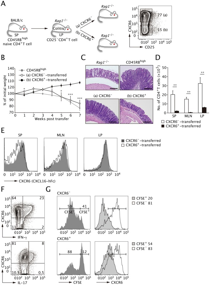 LP CXCR6 −  but not CXCR6 +  cells can transfer wasting and colitis upon retransfer into  Rag1 −/−  recipients. ( A ) Schematic transfer protocol. An equal number of CD25 − CXCR6 −  cells or CD25 − CXCR6 + CD4 +  T cell isolated from colon LP of colitic mice was retransferred into  Rag1 −/−  mice. ( B ) Time course of changes in body weight after retransfer of the two subsets or transfer of CD45RB high  naïve T cells. CXCR6 – transferred  Rag1 −/−  mice manifested progressive body weight loss to a similar extent to CD45RB high -transferred  Rag1 −/−  mice, whereas the cohort that received CXCR6 + cells did not show wasting. Data are expressed as the mean and s.e.m of two independent experiments. *,  P