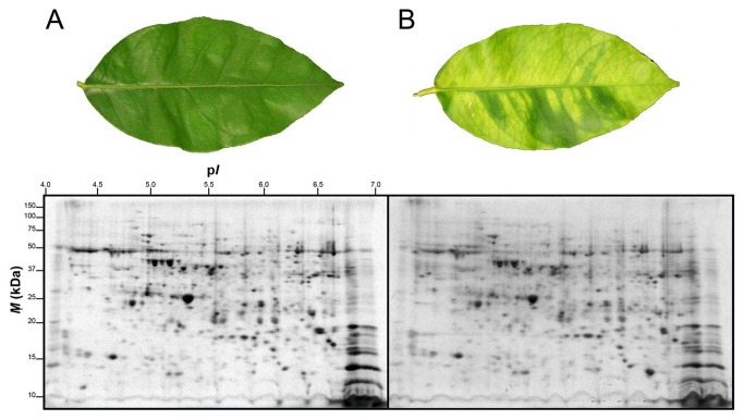 2-DE separation of proteins extracted from leaves of healthy of Las-infected lemon plants. ( A ) Representative leaf and gel containing extracted proteins separated via 2-DE of a healthy lemon plant. ( B ) Representative leaf and gel containing extracted proteins separated via 2-DE of a Las-infected lemon plant. Two-year old healthy plants were either graft-inoculated with side shoots from PCR-confirmed Las-infected bud sticks or uninoculated and leaf samples were analyzed at six months post-inoculation. A sum of 200 µg of total protein was separated according to charge on a pH 4-7 IpG strip and according to mass on 8-16% gradient SDS-polyacrylamide Tris-HCl gels. Protein spots were visualized by staining with Coomassie Brilliant Blue (CBB). M r , relative molecular mass; pI, isoelectric point.