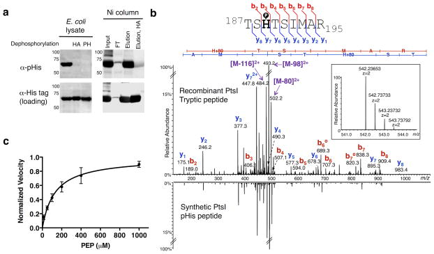 Analysis of histidine phosphorylation on PtsI a) Western blots of E. coli lysates expressing His 6 -tagged PtsI. Left: α-pHis blot of crude lysates and those treated with hydroxylamine (HA) or phosphohistidine phosphatase (PH). Right: Crude lysates were purified over Ni-NTA beads and the indicated fractions probed with the α-pHis antibody. As loading controls, the membranes were stripped and re-blotted with an α-His-tag antibody. See Supplementary Fig. 20 for full Western blots. b) Overexpressed PtsI was digested with trypsin and analyzed by high-resolution nano-UPLC-MS. Shown is the MS/MS spectrum from the tryptic peptide ion bearing pHis at the canonical His-189 site, with the matched b- and y- ions indicated in the spectrum and in the sequence flag diagram above (inset: MS spectrum of the precursor ion species, including its accurate mass measurement). For comparison, the MS/MS spectrum of a synthetic version of the pHis-bearing peptide is shown in mirror image below. c) A dot blot assay was developed to measure the kinetics of autophosphorylation of PtsI by PEP. A plot of the reaction velocity as a function of PEP concentration was used to determine an apparent K m value of 135 ± 30 μM (n = 3, mean ± s.d.).
