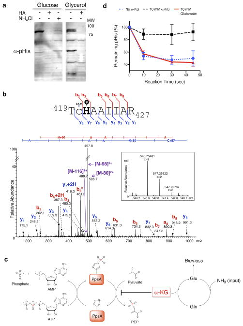 pHis levels in PpsA are sensitive to nitrogen availability and are regulated by α-KG a) Western blotting of NCM 3722 cells grown on minimal media containing glucose or glycerol as the carbon source and arginine as the nitrogen source. α-pHis signals were sensitive to hydroxylamine (HA) treatment of the lysates and nitrogen upshift in the growth media (NH 4 Cl). As a loading control, the membranes were imaged with colloidal gold stain ( Supplementary Fig. 21 ). See Supplementary Fig. 22 for full Western blot. b) MS/MS of an endogenous PpsA tryptic pHis peptide identified from fractionated glucose-fed E. coli lysate ( Supplementary Fig. 16 ). The gel band at 85 kDa was analyzed by high-resolution <t>nano-UPLC-MS</t> after trypsin digestion. The spectrum indicates pHis at the canonical His421 site, with the matched b- and y- ions indicated in the spectrum and in the sequence flag diagram above (CAM = S-carboxyamidomethyl) (inset: MS spectrum of the precursor ion species, including its accurate mass measurement). c) Model for regulation of PpsA catalytic cycle. Intracellular levels of α-KG can be significantly increased by nitrogen limitation. Inhibition of the PpsA dephosphorylation by the increased α-KG will lead to the buildup of phosphorylated enzyme. d) Dephosphorylation assay of autophosphorylated PpsA. The dephosphorylation was inhibited by α-KG, but not by glutamate (n = 3, mean ± s.d.).