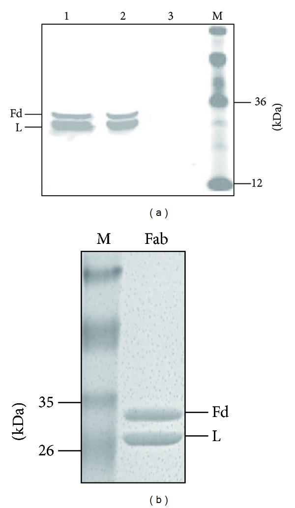 Expression and purification of the LF8-Fab. (a) A goat antihuman Fab and <t>IRDye</t> <t>800CW</t> donkey <t>antigoat</t> <t>IgG</t> were used to detect Fab expression in Western blotting. Both heavy chain Fd (Fd) and light chain (L) were expressed. Lane 1, supernatant of sonicated lysate; lane 2, pellet of sonicated lysate; lane 3, lysate of untranfected E. coli HB2151 as negative control; lane 4, protein marker. (b) Coomassie blue staining showed that heavy chain Fd (Fd) and light chain (L) of the LF8-Fab were equally expressed after the purification of IMAC and IEC.