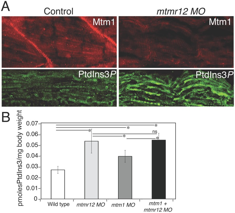 Myotubularin and PtdIns3 P alterations in mtmr12 morphants. (A) Immunofluorescence of control and mtmr12 knockdown fish showed significantly decreased myotubularin staining in mtmr12 knockdown fish in images taken under identical conditions. Immunofluorescence detection of PtdIns3 P showed apparent increases of this myotubularin substrate in mtmr12 morphant embryos as compared to controls. (B) PtdIns3 P levels are increased in mtmr12 , mtm1 and mtm1-mtmr12 morphant zebrafish, * P ≤0.05. Total lipids were extracted from zebrafish at 3 dpf and PtdIns3 P levels were measured using a lipid-protein overlay enzyme-linked immunosorbent assay.
