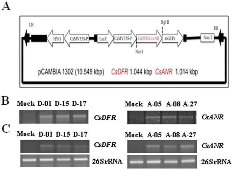Generation of CsDFR and CsANR transgenic tobacco. A, Graphic representation of pCAMBIA 1302 vector with cDNA of CsDFR and CsANR . CsDFR and CsANR cDNA was inserted in-between the NcoI and BglII restriction site of pCAMBIA 1302. B, Genomic DNA PCR confirmed the insertion of CsDFR and CsANR cDNA in plant genome of transgenic lines. C, Semi-quantitative PCR documented the transcript expression levels of CsDFR and CsANR in transgenic tobacco lines. Housekeeping gene 26S rRNA was used as internal control for expression study and experiments were repeated at least three times with similar results.
