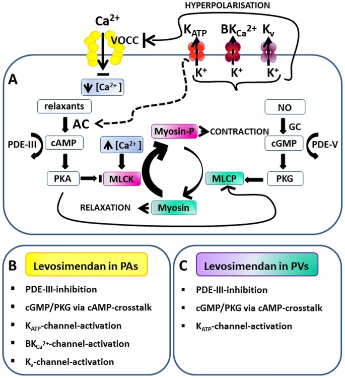 Regulation of vascular smooth muscle cells and the involvement of levosimendan. A) Myosin light chain kinase (MLCK) and myosin light chain phosphatase (MLCP) regulate vascular smooth muscle cells (VSMCs). High cytosolic Ca 2+ -levels activate MLCK which phosphorylates myosin light chains (Myosin-p) and thereby enhances VSMC contraction. In contrast, MLCP dephosphorylates Myosin-p and promotes relaxation. MLCP is highly activated by the protein kinase G (PKG) and protein kinase A (PKA). PKA and PKG stimulate K + -channels, leading to membrane hyperpolarisation, reduced Ca 2+ -influx via voltage-operated Ca 2+ -channels (VOCC) and reduced cytosolic Ca 2+ . Activation of K ATP -channels leads to the production of cAMP, probably by the stimulation of adenyl cyclase (AC). This illustration is modified from Yokoshiki et al. [13] . B) Signaling pathways which interact with levosimendan in pulmonary arterial smooth muscle cells (GP). C) Signaling pathways which interact with levosimendan in pulmonary venous smooth muscle cells (GP).
