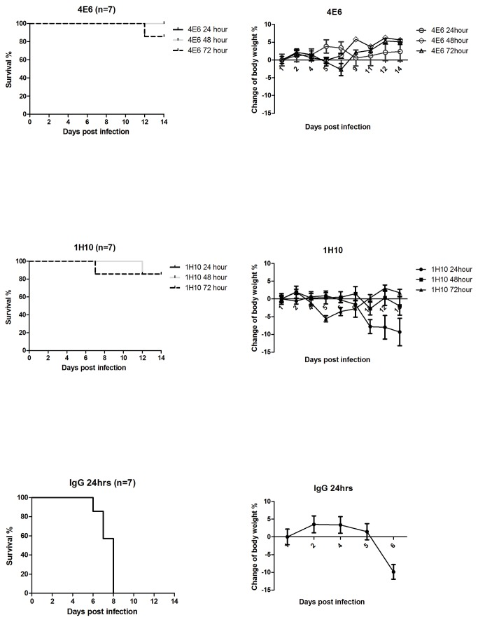 Therapeutic efficacy of mAb 4E6 and 1H10 in a mouse model of H5N1 virus A/Vietnam/1194/04 infection. (A) The Kaplan-Meier survival curve. BALB/c mice (n=7 per group in two separate experiments) were infected intranasally with 10 LD 50 of A/Vietnam/1194/04 and at 24, 48, or 72 hours, were treated with a single intraperitoneal injection of mAb 4E6 or 1H10 at 10 mg/kg body weight. The control group received IgG at 10 mg/kg body weight at 24 hours post-infection. (B) Percentage weight change in mice treated with mAb 4E6 or 1H10 at different time points post-infection. The mice (n=7) were infected via intranasal inoculation with 10 LD50 of A/Vietnam/1203/4, followed by a single intraperitoneal injection of mAbs at 24, 48, or 72 hours post-infection, and their weights were monitored for 14 days. The mice injected with an irrelevant IgG at 24 hours post-infection were used as the control group.