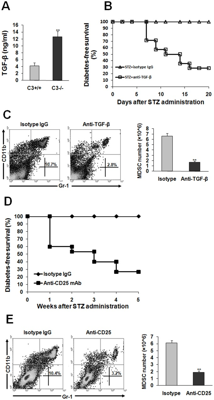 MDSC induction in C3−/− mice subjected to STZ is TGF-β-dependent. ( A ) the plasma from C3+/+ (n = 8) or C3−/− mice (n = 15) was collected 3 weeks after STZ treatment. TGF-β contents were examined by ELISA. ( B,C ) TGF-β antibody or isotype IgG was adminidtrated to STZ-treated C3−/− mice as described in Materials and methods. ( B ) blood glucose was monitored and the percentage of diabetes-free survival was expressed. Data were pooled from three independent experiments. Each group consists of 10–15 mice. ( C ) 4 weeks later, spleen cells were fractionated. The percentage and number of Gr-1 + CD11b + cells was detected by flow cytometry. Representative data were shown from three separate experiments. ( D,E ) anti-CD25 antibody or isotype IgG was injected into STZ-treated C3−/− mice as described in Materials and methods. ( D ) diabetes-free survival was monitored every week. Each experiment group consisted of 10–15 mice. ( E ) 4 weeks later, the percentage and number of Gr-1 + CD11b + cells was examined by flow cytometry. Representative data from two separate experiments were shown. Number is 5 to 8 per group when the abundance of MDSC was calculated. **, P