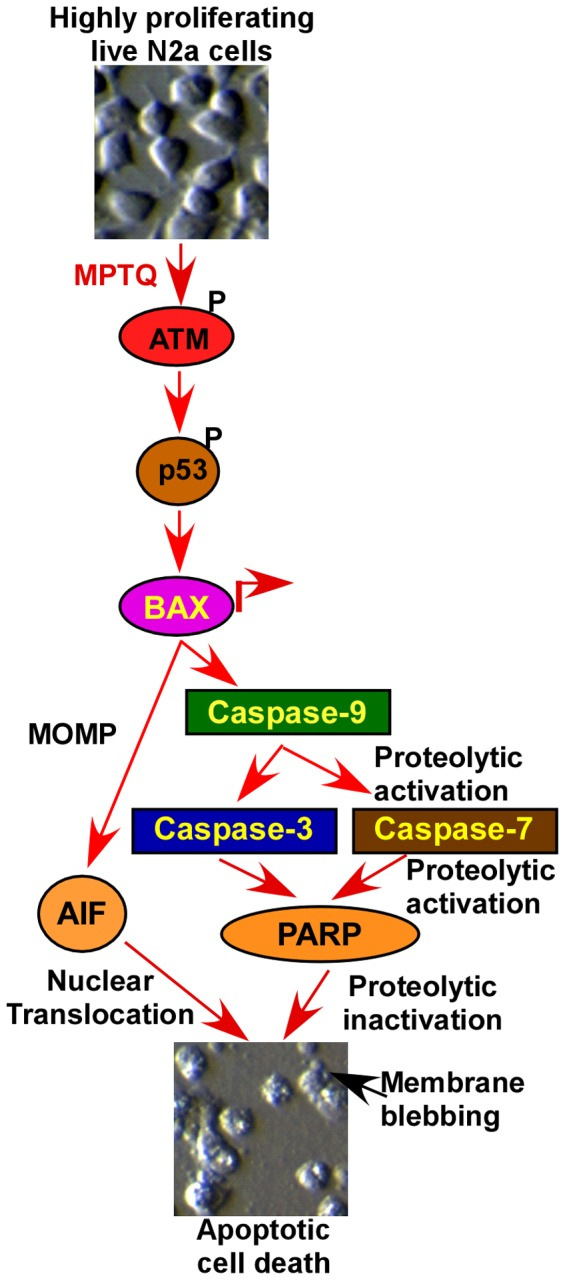 Working model of MPTQ-mediated apoptosis in neuro 2a neuroblastoma cells. MPTQ activates ATM (an indicator of DNA double strand breaks) and <t>p53.</t> MPTQ treatment also upregulates <t>Bax</t> protein level which activates caspase-dependent intrinsic apoptosis pathway by activating caspase-9 followed by caspase-3 and -7 which in turn inactivates PARP. Caspase-independent intrinsic apoptosis pathway was also activated by nuclear translocation of AIF. MOMP = mitochondrial outer membrane permeabilization.