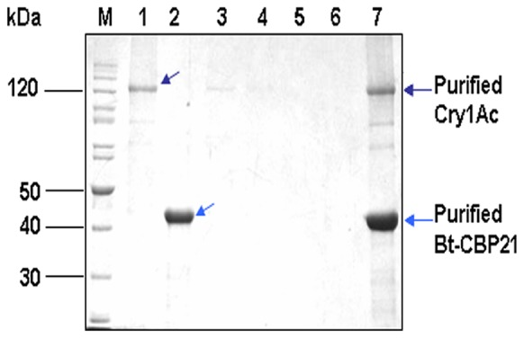In vitro pull down assay of Cry1Ac and Bt-CBP21. Reaction mixture (100 µl) containing purified Cry1Ac protoxin (40 µg) and purified Bt-CBP21 (30 µg) were mixed with 1X binding buffer and incubated for 1 h at 25°C, as described in Materials and methods . Unbound proteins were removed upon centrifugation. The protein mixture was incubated with Ni-NTA matrix for 30 min at 4°C. The resin was washed with 1X binding buffer and bound proteins were eluted with 1X binding buffer containing 300 mM imidazole. All fractions were resolved on 10% SDS-PAGE. Lane M: Protein molecular marker (in kDa), Lane 1: Purified Cry1Ac, Lane 2: Purified Bt-CBP21, Lane 3: Flowthrough, Lanes 4–6: Wash fractions, Lane 7: elution fraction (300 mM Imidazole).