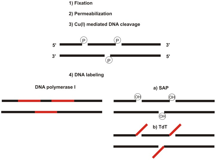 The scheme of the method. A simplified scheme of two basic alternatives of labeling cellular double-stranded DNA is shown. The common steps (fixation, permeabilization and copper(I)-mediated DNA cleavage leading to the gap formation) are followed by the labeling of DNA by means of DNA polymerase I or TdT. In the case of TdT, it is necessary to use the pre-incubation step with SAP in order to reconstitute the hydroxyl groups at the 3′ ends of the gaps. P and OH designate phosphate and hydroxyl groups at the 3′ ends of the gaps, respectively.