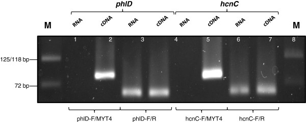 PCR amplification of  hcnC  and  phlD  genes.  Agarose gel electrophoresis of  hcnC  and  phlD  genes, PCR amplified from RNA (non-DNase I treated) extracted from liquid culture of  Pseudomonas  sp. LBUM300. Primer system: phlD-F/MYT4 (Lane 1-2); phlD-F/phlD-R: (Lane 3-4); hcnC-F/MYT4 (Lane 5-6) and hcnC-F/R: Lane (7-8). Template: Non-reverse Transcribed RNA (Lane 1, 3, 5, 7); cDNA (Lane 2, 4, 6, 8). M: Quick-Load DNA marker, Broad Range (New England Biolabs, Mississauga, ON).