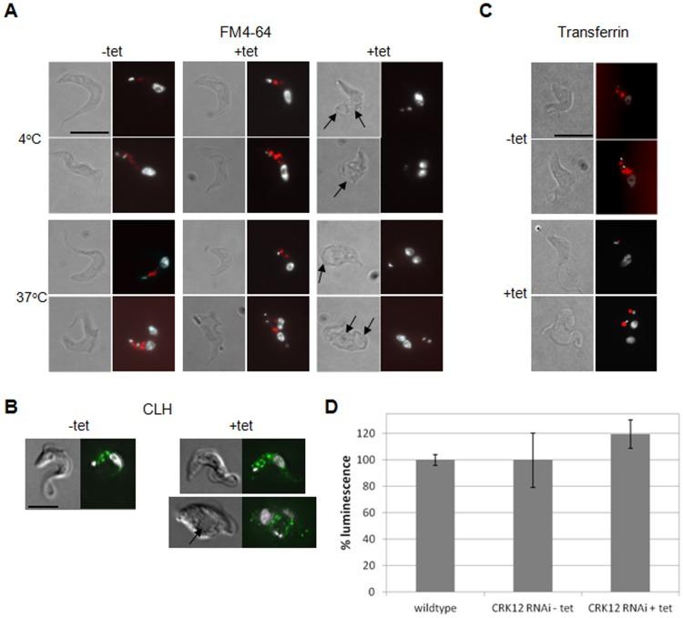 CRK12 depleted bloodstream form T.brucei exhibit defective FM4-64 uptake and receptor-linked endocytosis. A. FM4-64 uptake assay at 4°C and 37°C for CKR12 RNAi cells (clone 1) induced or not with tetracycline (tet) for 18 hours. For each pair of images: left: DIC images; right: DAPI (white)/FM4-64 (red) merge. Two sets of + tet images are shown: those without enlarged flagellar pockets (centre panels) and those with enlarged flagellar pockets (right panels, as indicated by arrows). B. Clathrin heavy chain (CHC) immunofluorescence analysis of CRK12 RNAi cells (clone 1) induced or not with tetracycline (tet) for 12 hours. Left: DIC images; right: DAPI (white)/CHC (green). Induced cells exhibiting normal (upper panels) and enlarged (lower panels, as indicated by arrow) flagellar pockets are shown. C. AF594-transferrin uptake assay at 37°C for CKR12 RNAi cells (clone 1) induced or not with tetracycline (tet) for 18 hours. Left: DIC images; right: DAPI (white)/AF594-transferrin (red) merge. Scale bars: 10 µm. D. Bioluminescent intracellular ATP assay for 427 wildtype and CRK12 RNAi cells (induced or not with tetracycline (tet)). Assays were performed in quadruplicate and the luminescence obtained was averaged and normalised to the wildtype control. Error bars show the standard deviations.