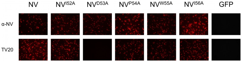 Reactivity of MAb TV20 with NV capsid proteins carrying point mutations. Immunofluorescence staining results from Vero cells transfected with different DNA constructs. Mutations of the VP1 from NV (pCI-NV) were introduced by using specific primers and the QuikChange Site-Directed Mutagenesis Kit (Stratagene, La Jolla, CA) following the manufacturer's recommendations. pCI expressing GFP was used as negative control. Hyperimmune sera against NV (α-NV) was used as a control to detect VP1 expression.