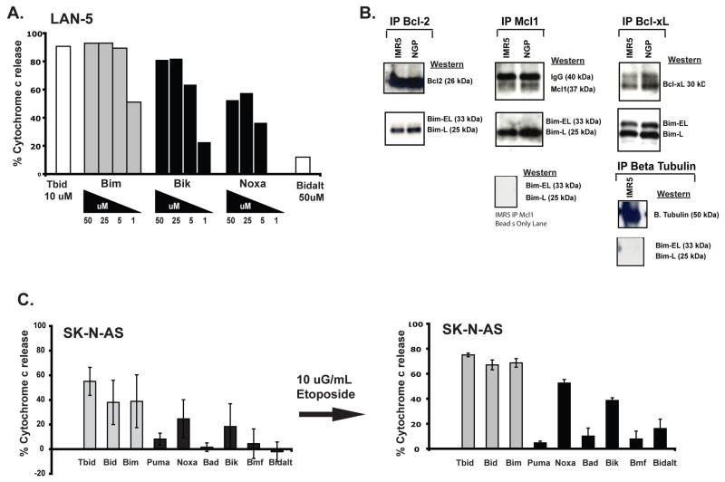 """Functional validation of BH3 peptide activity (A) Dose dependent response of LAN5 mitochondria to BH3 peptides BimBH3, BikBH3 and NoxaBH3 showing enhanced sensitivity to activator (Bim) peptides, and demonstrating higher potency for Bik over Noxa in this Bik-dominant NB. (B) Co-immunoprecipitation data confirm that neuroblastomas are primed for death as endogenous activated BH3 protein Bim is bound to Mcl1, Bcl-2, and Bcl-x L at steady state. Reverse pull down, β-tubulin IP and beads lane confirm these to be true BH protein interactions. Bim-EL, """"Extra long"""" Bim isoform; Bim-L, """"Long"""" isoform. ( C) SK-N-AS shows change in BH3 profile to a Noxa-dominant pattern following exposure to sublethal doses of etoposide, identifying Mcl1 as possible contributer to etoposide resistance in this cell line. 2 × 10 8 cells were exposed to 10 uG/mL etoposide, then cells were washed and harvested, mitochondria isolated, and immediately exposed to the panel of BH3 peptides to evaluate cytochrome c release."""