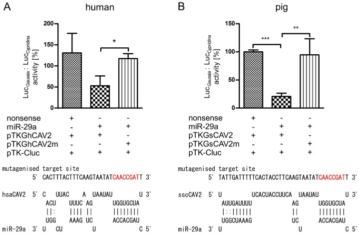 Analysis of CAV2-miR-29a interaction in humans and pigs by means of reporter gene assays. The interaction between miR-29a and human as well as porcine CAV2 was verified by means of reporter gene assays using HeLa and <t>IPEC-J2</t> cells, respectively. Identified target sites between miR-29a and human (panel A) as well as porcine CAV2 (panel B) were analysed using RNAhybrid. Relative luciferase activity (Luc Gaussia : Luc Cypridina ) was determined respective to nonsense miRNA mimics as well as mutagenised seeds (red letters) serving as controls. The columns show means of normalised luciferase activity each measured in triplicates while error bars show the standard deviation. Asterisks indicate statistical significance between samples (*: P