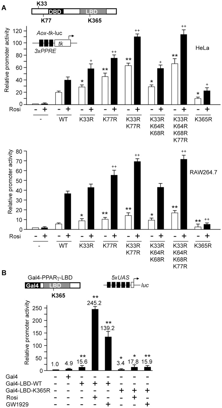 Transcriptional activity of PPARγ mutants. (A) HeLa (top) and RAW264.7 (bottom) cells were transfected with the Aox-tk luciferase reporter construct along with the indicated PPARγ1 lysine mutants. Twenty-four hours after transfection, cells were treated with 1 µM rosiglitazone (+) or the vehicle (-), and incubated for additional 24 hours. The reporter activity in the absence of PPARγ was arbitrarily set to 1. Error bars are mean +/− SD. Statistical significance of activation by PPARγ mutants compared to wild type PPARγ in the absence (*) or presence ( + ) of rosiglitazone was calculated using the Student´s t-test. * and + , p