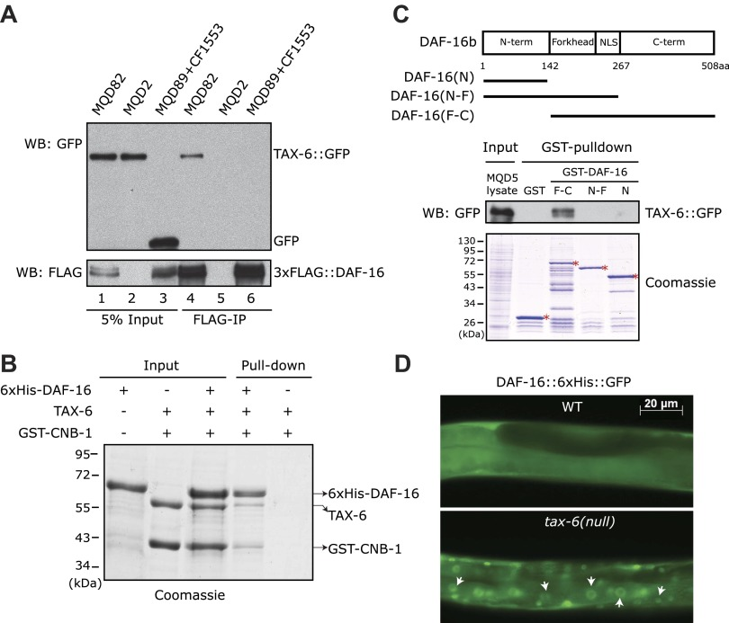 C. elegans Calcineurin TAX-6•CNB-1 directly binds to DAF-16 and negatively regulates DAF-16 nuclear localization. ( A ) DAF-16 and TAX-6 form a complex in vivo. Immunoprecipitation of 3xFLAG::DAF-16 expressed under the daf-16 promoter in WT C. elegans pulled down TAX-6::GFP expressed under the tax-6 promoter. The lysates were obtained from transgenic strains MQD82 (co-expressing 3xFLAG::DAF-16 and TAX-6::GFP), MQD2 (expressing TAX-6::GFP), MQD89 (expressing 3xFLAG::DAF-16), and CF1553 (expressing GFP under a sod-3 promoter). ( B ) Calcineurin directly binds to DAF-16. Purified recombinant TAX-6•GST-CNB-1 was pulled down with Ni-NTA beads through its interaction with purified His-tagged DAF-16. ( C ) The C-terminal region of DAF-16 most likely mediates the interaction with Calcineurin. GST-DAF-16(F-C), but not GST, GST-DAF-16(N) or GST-DAF-16(N-F), pulled down TAX-6::GFP expressed in C. elegans (strain MQD5). The DAF-16 C-terminal region alone was not stable. Asterisk indicates full-length GST or GST fusion proteins. ( D ) DAF-16::6xHis::GFP is diffusely distributed in the WT animals but concentrated in the nucleus in tax-6(ok2065) animals. All GFP images shown in this paper are of L4 animals at 20°C unless otherwise indicated. DOI: http://dx.doi.org/10.7554/eLife.00518.003
