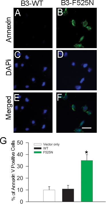 CNGB3 F525N mutation increases annexin V–positive cells compared to wild-type channels. Transfected cells were treated with 0.1 μM CPT-cGMP for 24 h. For determination of cell death, cells were stained with fluorescein-labeled annexin V, a protein with a high affinity for phosphatidylserine ( A and B ). Cells were also counterstained with DAPI to count nuclei ( C and D ), and the two images were merged to count annexin V–positive cells ( E and F ). G : Summary bar graph for annexin V staining of cells transfected with control plasmid, wild-type CNGB3 plus CNGA3, or CNGB3-F525N plus CNGA3 plasmids. Fluorescent images were obtained using a Zeiss LSM 510 confocal system as described in the Methods. Scale bar in F (applies to A - F ), 100 µm.