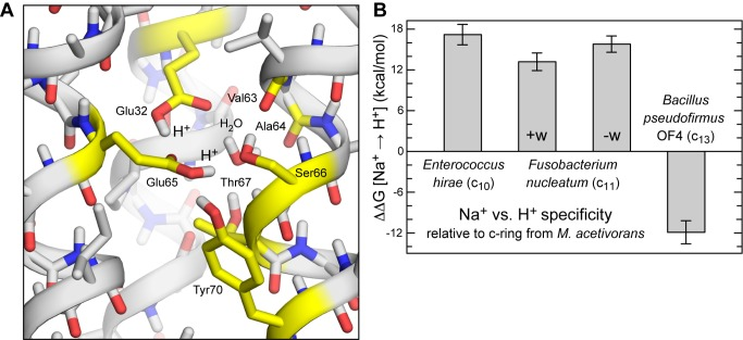 Calculated ion selectivity of the F. nucleatum c-ring. (A) Predicted structure of the ion binding sites in the absence of Na + , with two H + bound. Hydrogen atoms in non-polar groups are omitted for clarity. Note the binding site harbors two H + , one bound to Glu32 and another to Glu65 (both in cis ). Two alternative configurations, one of which lacks a bound water molecule, are also shown in Figure S3 . (B) Calculated free-energy of selectivity for H + vs. Na + of the F. nucleatum c-ring binding sites, relative to other c-rings previously characterized. The Na + state is that rendered in Figure 1A ; note the bound water molecule. Two possible H + -bound states are considered, in which the water molecule is either preserved (+w), as in Figure 3A , or removed (−w), as in Figure S3B .
