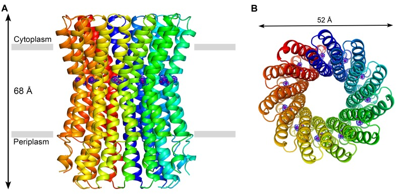 Crystal structure of the c 11 ring of the F. nucleatum ATP synthase at 2.2 Å resolution. The pH of crystallization buffer was 5.3, and included 100 mM Na + . (A) Side view of the c-ring along the membrane plane. The c-subunits are displayed in different colors in ribbon representation. The transmembrane region, 35 Å in width, is indicated with grey bars. (B) View of the c-ring from the cytoplasm, along the perpendicular to the membrane. The sodium ion and the water molecule bound to each of the 11 ion-binding sites (purple and red spheres, respectively), are shown by F obs -F calc omit electron-density maps at 3.2σ (blue meshes).