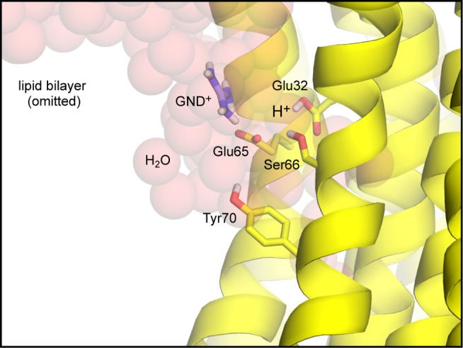 Simulation model of the open-state of the Na + -binding site in the F. nucleatum c-ring. The c-ring is shown in cartoon format (yellow), viewed from the membrane plane. Lipid molecules in the surrounding membrane bilayer are omitted for clarity. A crevice of water molecules (transparent red spheres) was modeled on the cytoplasmic side of the protein-lipid interface, so as to mimic the hydrated environment at the interface of the c-ring and subunit a, in the complete enzyme. A guanidinium ion (GND + ) was added to the crevice, to mimic a conserved Arg side-chain in the fourth transmembrane helix of subunit a. Key side-chains in the open binding site, namely Glu65, Glu32, Ser66, and Tyr70, are shown as sticks (non-polar hydrogen atoms are omitted); these form an interaction network in the closed state ( Figure 8 ), which in this open state is largely disrupted. Glu65 projects out of the binding site and interacts with the guanidinium ion; Glu32, however, is highly likely to remain protonated ( Figure 2B ).
