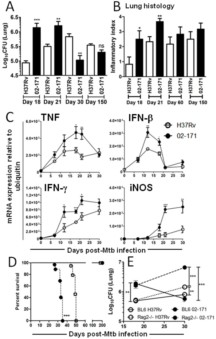 Mtb Bj strain 02-171 is more virulent during the innate immune response than H37Rv. (A) WT mice were intranasally infected with Mtb strains H37Rv (white bars) or 02-171 (black bars) and at the indicated time points post-infection, lung cell suspensions were prepared, diluted and plated into 7H11 agar to determine the number of mycobacterial CFUs in the lung. The bacterial burden 24 h post-infection was Log10(CFU) 2.67±0.57 and Log10(CFU) 2.45±0.76 (Mean±SEM for 6 animals per strain) for Mtb strains H37Rv or 02-171 infected mice, respectively. (B) WT mice were infected as before and, at the indicated time points post-infection, sections were prepared from formalin-fixed lungs. HE stained tissue was blindly analysed and lung inflammation scored for each animal within the group (6 animals). Inflammation scores were: absent = 0; mild = 1; abundant = 2; severe = 3; exacerbated = 4. (C) WT mice were infected with Mtb strains H37Rv (open circles) or 02-171 (close circles), RNA extracted from the lung tissue and the expression of TNF, IFN-β, IFN-γ and iNOS analyzed by quantitative real-time PCR and normalized to the expression of ubiquitin. Data represented for day 0 correspond to uninfected animals. For A, B and C data points show the Mean±SEM for 5 mice per group and the significance was determined by the Student's t-test (*,p≤0.05; **,p≤0.01; ***,p≤0.001) for each time point, between Mtb strains 02-171 and H37Rv. The data are representative of three (A and B) or two (C) independent experiments. (D) Kaplan-Meier survival analysis of WT (solid lines) or Rag2 −/− (dashed lines) mice infected intranasally with Mtb strains H37Rv (open circles) or 02-171 (close circles). H37Rv-infected mice showed improved survival (49 days vs 33 days with 02-171-infected mice), as calculated by log-rank test (***,p≤0.0001). WT animals infected in parallel survived up to day 200 post-infection. The data are representative of two independent experiments. (E) WT or Rag2 −/− mice were infected wi