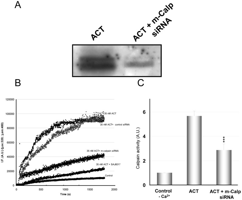 Activation of the m-calpain isoform in the ACT-treated cells. Western blot of the cytosolic fraction isolated from J774A.1 cells treated with ACT (35 nM) or from cells transfected with anti m-calpain siRNA and treated with ACT (35 nM) (A). Kinetics of the proteolytic cleavage of the FRET-based calpain specific substrate for ACT-treated cells (35 nM toxin), and cells in which m-calpain expression has been silenced by transfection with the corresponding siRNA, or mock cells transfected with scrambled control siRNA, or cells pre-incubated with SAJ6017 (78 nM), a specific m-calpain inhibitor. The figure is a representative experiment from three similar assays performed under identical conditions (B). Assay of calpain activity using <t>FITC-labelled</t> <t>α-casein</t> as substrate. FITC-α-casein hydrolysis by calpain is determined from in J774A.1 cell extracts incubated with FITC-labelled α-casein in the presence or absence of 1 mM CaCl 2 . Protease activity was quantified in 10% polyacrylamide gel by determining fluorescence intensity of the non-hydrolysed FITC-α-casein band. Non-digested FITC-α-casein and cell extracts without calcium were used as negative controls (C).
