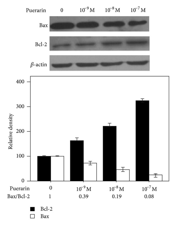 Effects of puerarin on the expression of Bcl-2 and Bax in hOBs. Cells were treated with 0, 10 −9 M, 10 −8 M, and 10 −7 M puerarin for 48 h before collecting proteins. Cell lysates were subjected to western blot analysis and incubated with anti-Bax, anti-Bcl-2, or anti- β -actin monoclonal antibodies. Gel-Pro 4.0 gel image analysis software was used to analyze the absorbance values of Bcl-2 and Bax.