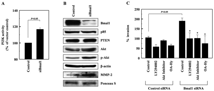 Bmal1 suppresses the PI3K-Akt-MMP-2 pathway. (A) Cell lysates from control or Bmal1-knockdown A549 cells were analyzed for PI3K activity by competitive ELISA. (B) The levels of Bmal1, the p85 subunits of PI3K, PTEN, Akt, phospho-Akt, and β-actin in the lysates were analyzed by western blotting. Alternatively, conditioned media were prepared using Bmal1-knockdown cells, and MMP-2 levels were analyzed by western blotting. Protein loading was verified by Ponceau S staining. (C) Control and Bmal1-knockdown cells were incubated in the presence or absence of LY294002 (5 μM), Akt inhibitor (5 μM), or OA-Hy (10 μM) for 24 h, and cellular invasiveness was compared. * P