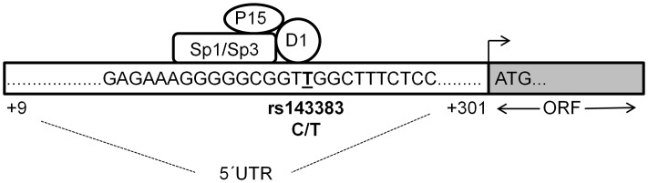 Proposed binding model of the four trans -acting factors to rs143383. A region (+9 to +301 relative to the transcription start site) of the GDF5 5′UTR is depicted, with the sequence immediately flanking rs143383 (T allele underlined) shown. We propose that DEAF-1 binds directly to rs143383 (at the TTGG site) and that Sp1 and Sp3 bind just upstream (to the Sp site GGGCGG), mediating a repressive effect through DEAF-1. P15 may be interacting with the repressive multi-protein complex and serving as a linker with the general transcription machinery. ORF is the open reading frame of GDF5 whilst ATG is the translation initiation codon.