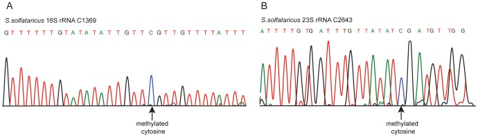 Sanger-based verification of two novel methylated positions in S. <t>solfataricus</t> rRNA identified using <t>RNA-seq.</t> Bisulfite-converted sequences were amplified using amplicon-specific primers and sequenced. (A) Position C1369 in the S. solfataricus 16S rRNA. (B) Position C2643 in the S. solfataricus 23S rRNA.